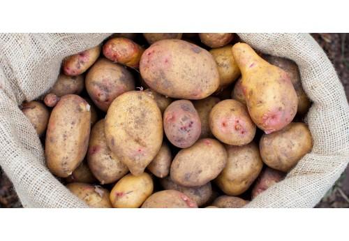 Ранний сорт картофеля Лилея