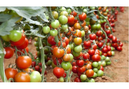 Свойства детерминантного сорта помидор