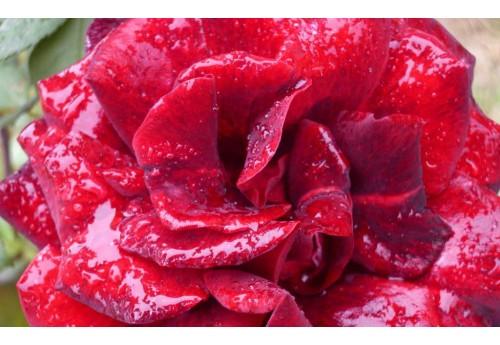Тонкости посадки и выращивания роз