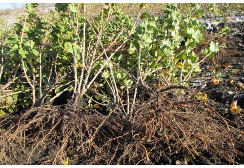 Тонкости посадки смородины осенью