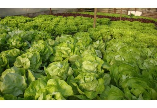 Тонкости выращивания ранней капусты в теплице