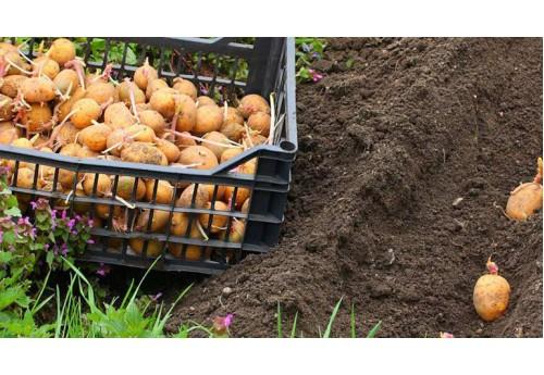 Эффективное использование земли: вторая посадка картофеля