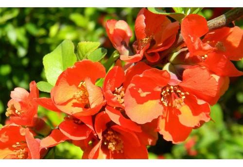 Выращивание айвы японской на собственном участке и в саду