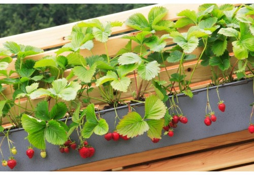 Выращивание ампельной клубники