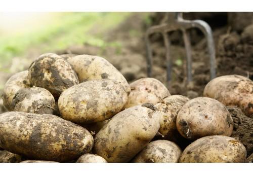 Важные особенности и тонкости выращивания картофеля Импала