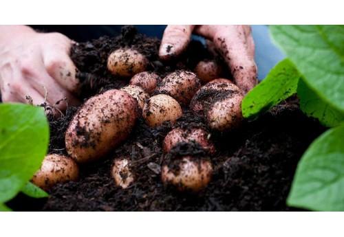 Выращивание картофеля Пикассо