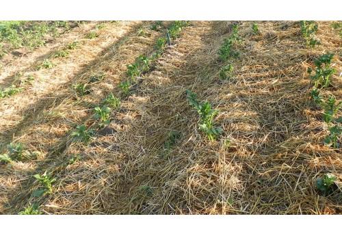 Выращивание картофеля под соломой и сеном