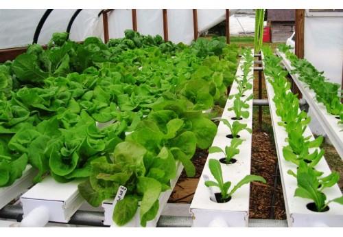 Выращивание салата зимой на продажу