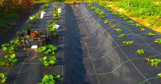 черное агроволокно для выращивания клубники