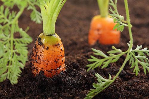 Как поливать морковь в августе