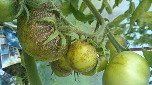 Какие бывают болезни томатов в теплице