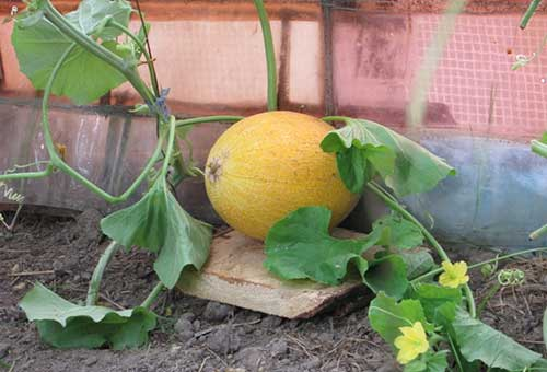 Как правильно выращивать дыню