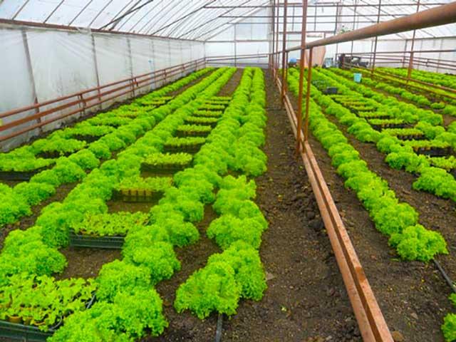 Особенности и нюансы выращивания салата в теплице