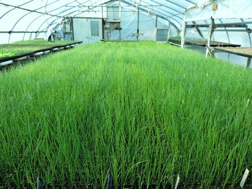 Выращивание лука зимой в теплице