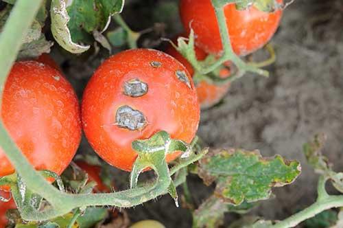 Фитофтора на помидорах в теплице