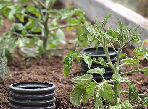 Как правильно осуществлять полив помидор в теплице