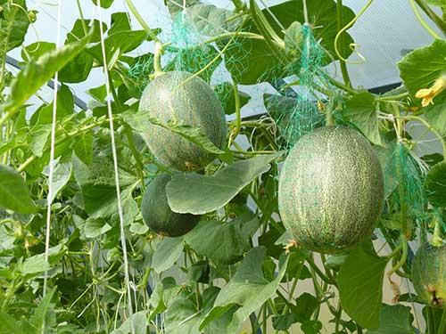 Как вырастить дыни