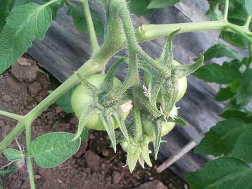 Как правильно вырастить томаты в теплице