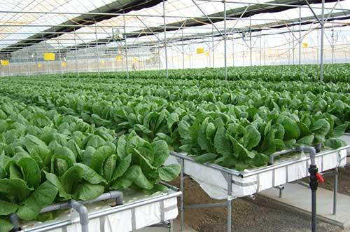 Обзор теплицы для промышленного выращивания