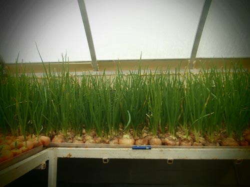 Адаптированная технология выращивания лука на своем участке