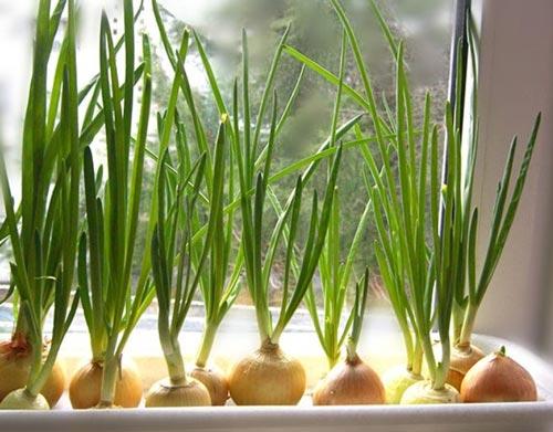 Адаптированная технология выращивания лука