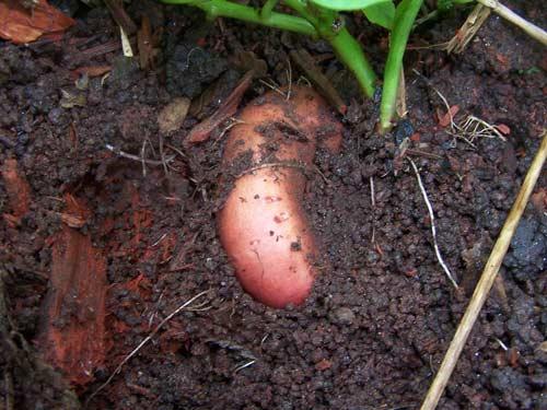 Батат и его выращивание на грядках