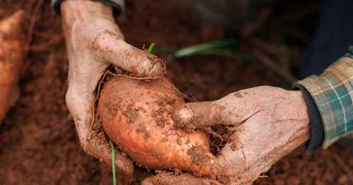 Батат и его выращивание
