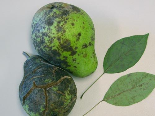 Борьба с болезнями груши и борьба с ними