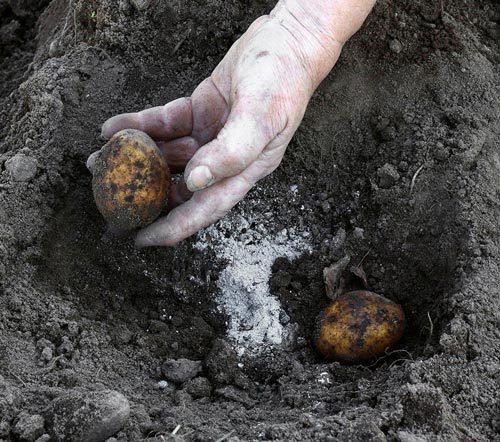 Чем можно удобрять картофель в осеннее время года