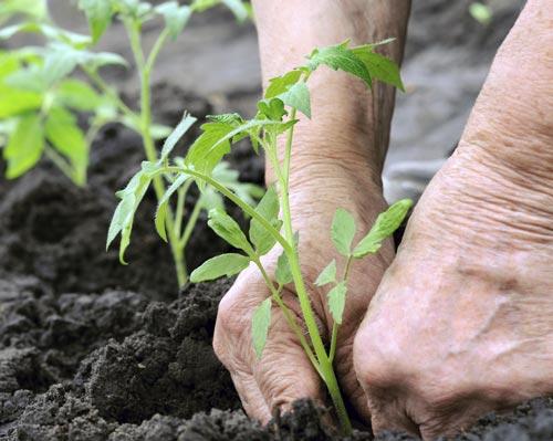 Что класть в лунку при посадке рассады томатов