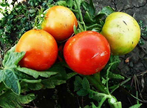 Характеристика лучших сортов томатов в Украине для выращивания в теплице