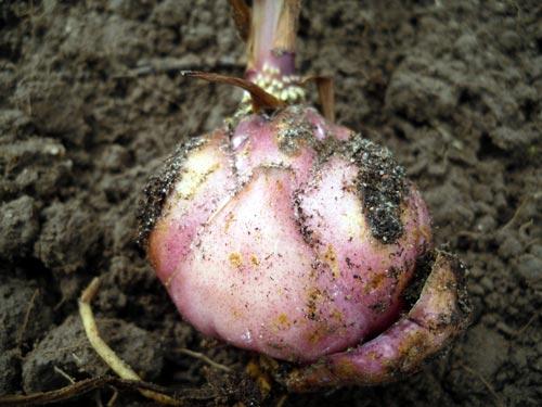 Характеристика осенней пересадки лилий
