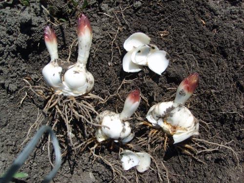 Характеристика пересадки лилий