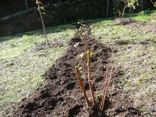 Характеристика посадки малины