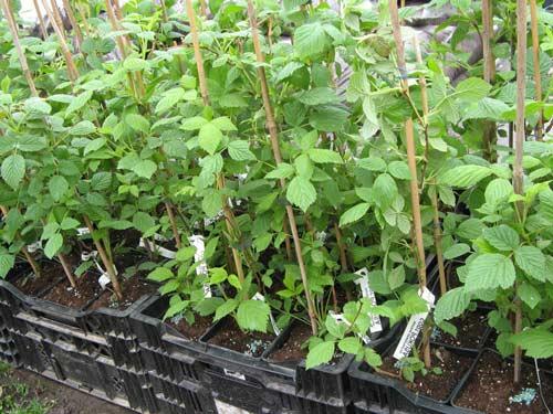 Характеристика посадки малины на своем участке