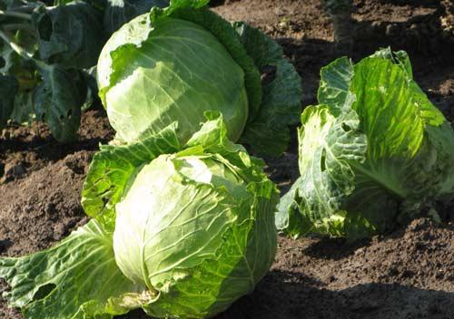 Как получить хороший урожай белокочанной капусты на участке