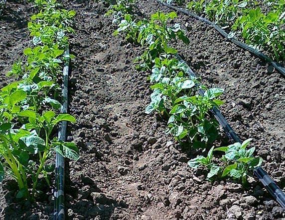 Используем капельный полив картофеля