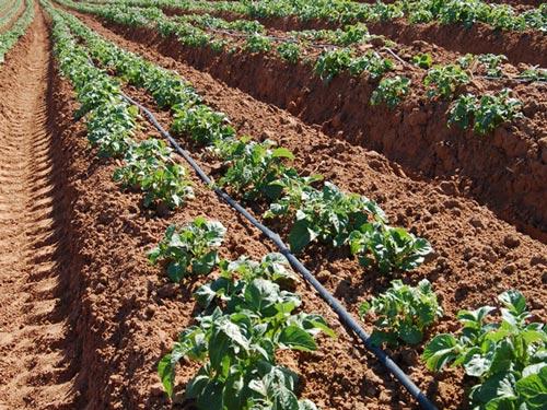 Используем капельный полив картофеля на участке