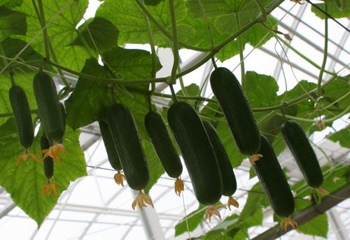 Эффективное выращивание самоопыляемых сортов огурцов