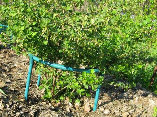 Эффективный уход за крыжовником - посадка и выращивание