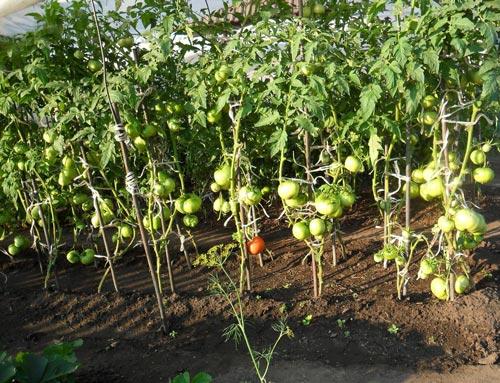 Йод для подкормки помидоров