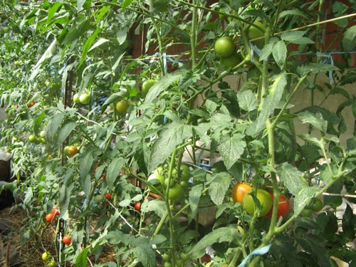 Как и чем провести подкормку томатов