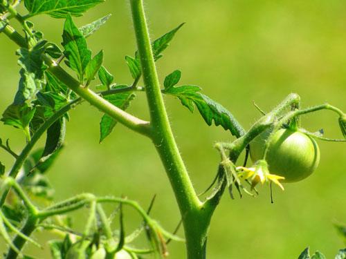 Как обрезать помидоры в теплице индетерминантных сортов
