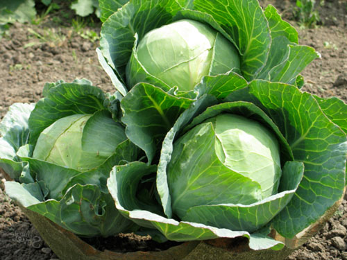 Как поливать капусту для качественного урожая на огороде