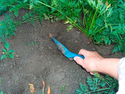 Как нужно поливать морковь на огороде