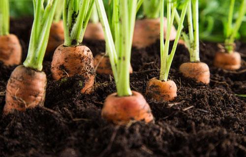 Как нужно поливать морковь