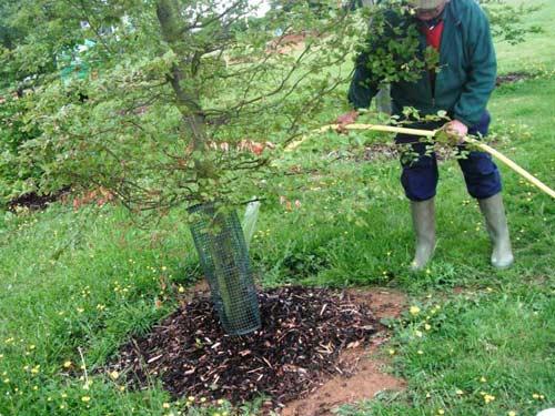 Как правильно поливать яблони в саду