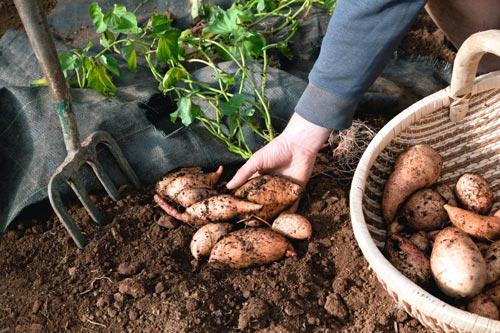 Как правильно вырастить рассаду батата