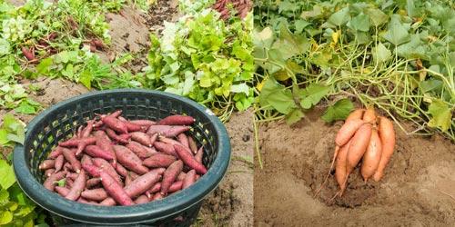 Как правильно вырастить рассаду батата на открытом грунте