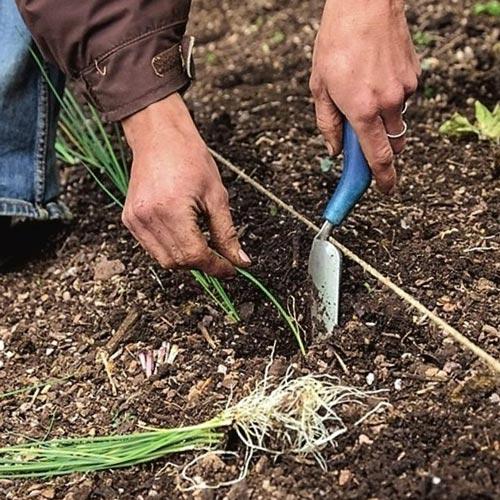 Как сажать лук-порей правильно